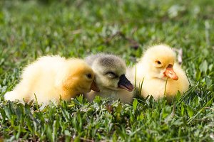 Three little domestic gosling in green grass