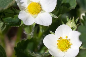 Closeup macro strawberry flower blossom at sunny summer day