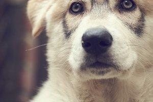 Northern Inuit Puppy 9