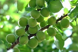 Green apricots on branch
