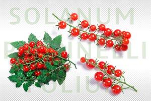 Solanum pimpinellifolium