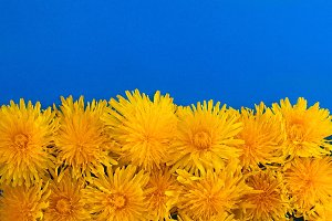 Dandelions on a blue background