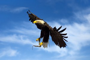 flying american eagle