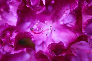 macro of pink rhododendron