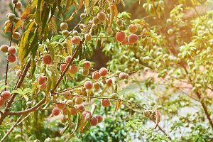 Peaches grow on tree