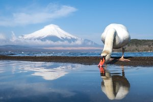 White swan at Yamanaka lake