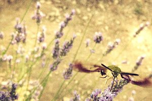 Fuzzy Humming Moth
