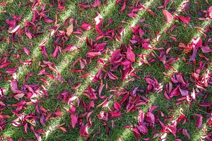 Red leaves on the green grass