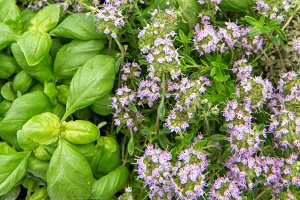 Fresh herbs basil rosemary savory