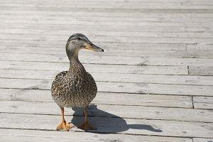 Guten Duck?