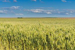 Field of tall wheat grass