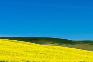 Field of yellow grain