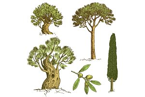 set of hand drawn trees italian cypress and stone pine , pinea, olive isolated vector illustration, engraved symbols of south, evergreen