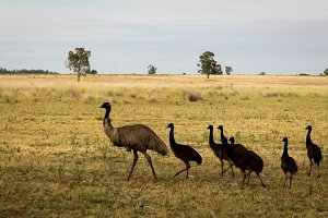 Wild Australian Emu with Young