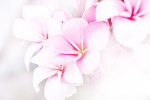 soft focus of sweet pink plumeria