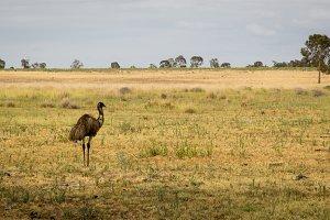 Wild Australian Emu