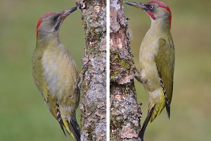 Pair of european green woodpecker