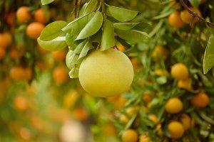 Pomelo fruit in garden