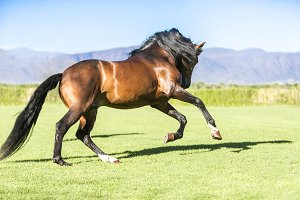 Thoroughbred wild horse