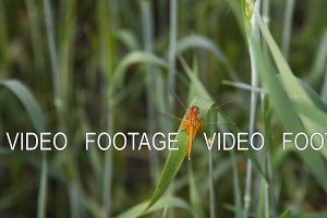 Dragonfly in wheat field