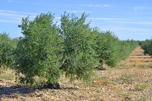 Plantation of olive trees