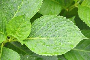 Wet plant leaves
