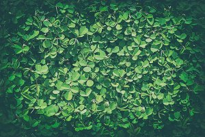 Green clover leaves background