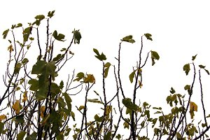 Fig Branches Leaves