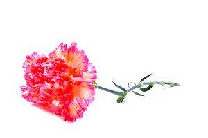 pink clove carnation