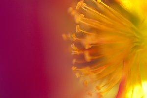 Purslane Bloom