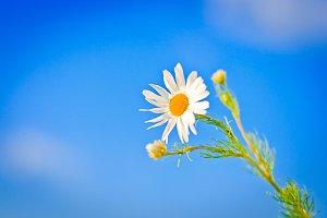 Spring daisy against the sky