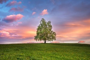 Tree in the meadows at sunset