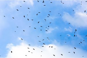 A large group of crows