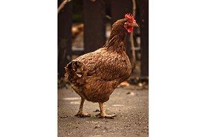 Chicken at farm