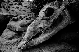 Animal skull on sacking background