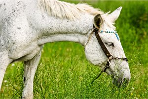 A white horse feeding outdoors