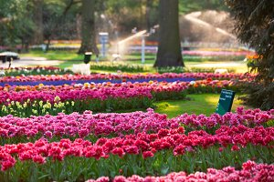 Bright flowerbed in Keukenhof