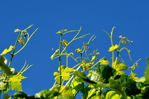 Grape shoots and blue sky