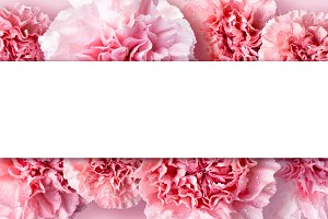 Pink carnation flowers background
