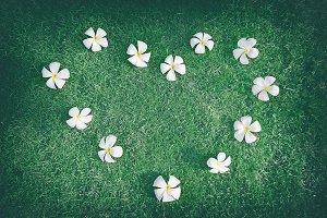 Tropical flowers frangipani (plumeria) in heart shape on grass background