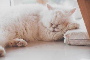 cute persian cat sleeping