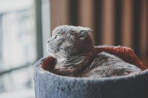 Lovable scottish fold cat laying