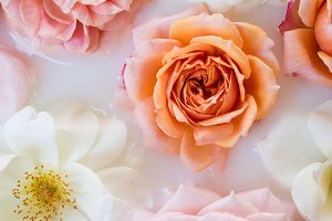 Pink Peach Rose Styled Stock