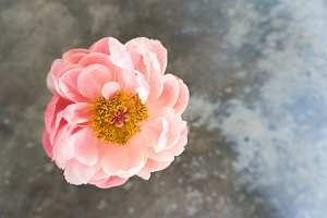 Pink Peony Dark Background