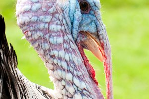 Portrait of a turkey male or gobbler closeup on a green background