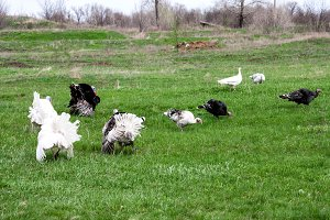 turkey or gobbler grazing on a green grass background