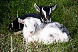 Two small goat lying on green grass