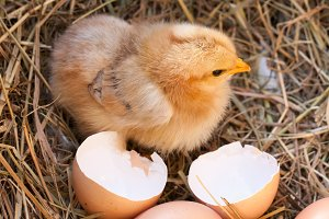 baby chicken with broken eggshell in the straw nest