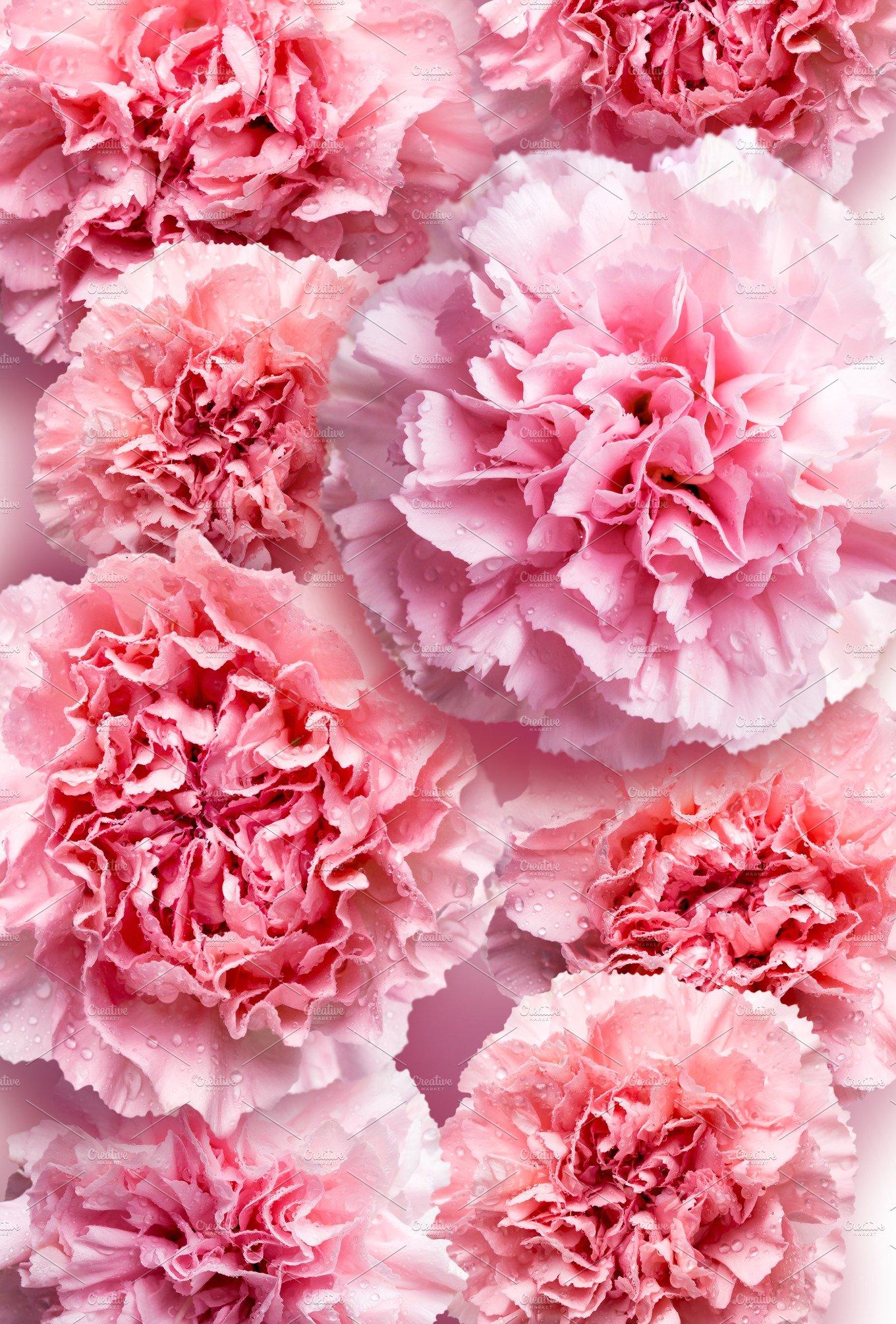Pink carnation flower background ~ Nature Photos ...