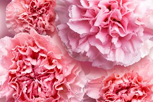 Pink carnation flower background